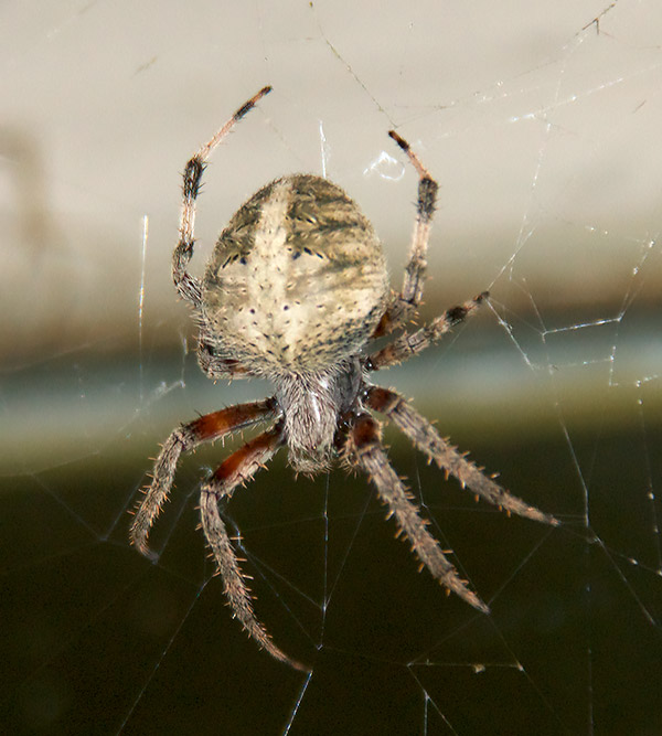 Spotted Orbweaver in its web.