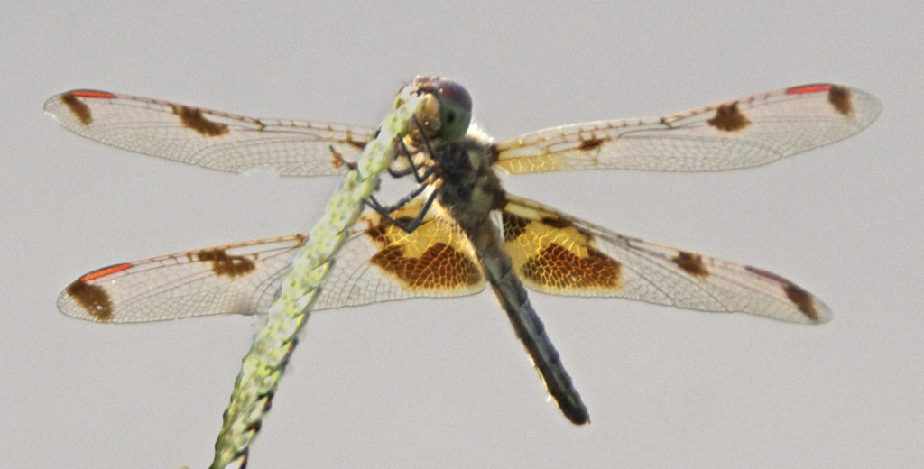 Calico Pennant dragonfly from below.