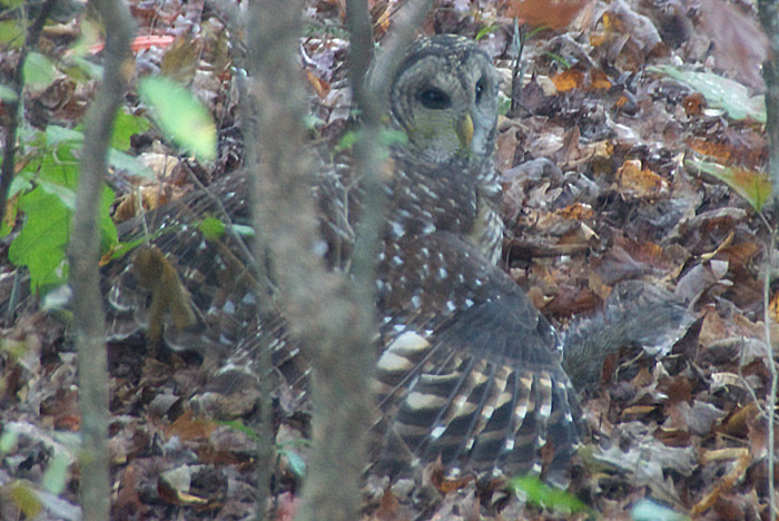A Barred Owl has captured a squirrel