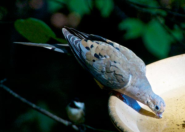 A Molting Mourning Dove