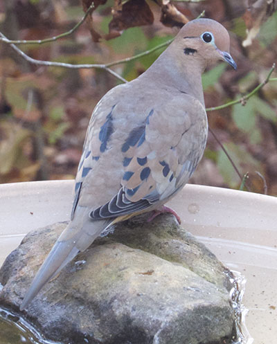 A Mourning Dove in alternate plumage.