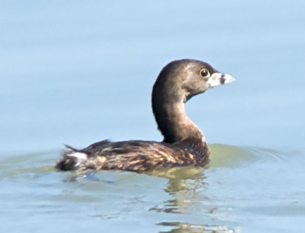 A Pied-billed Grebe