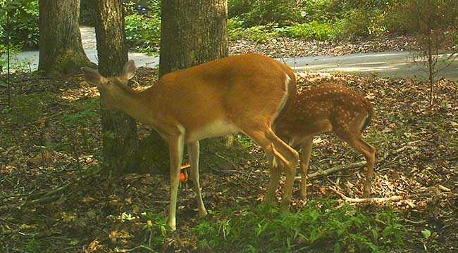 A adult deer and a fawn eat mushrooms