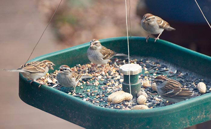 Chipping sparrows at a feeder