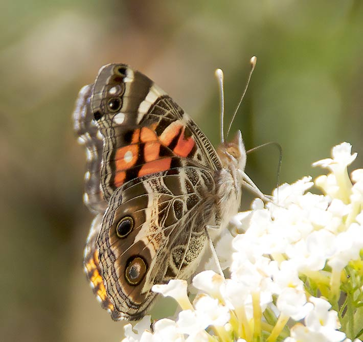 American Painted Lady showing underwing pattern