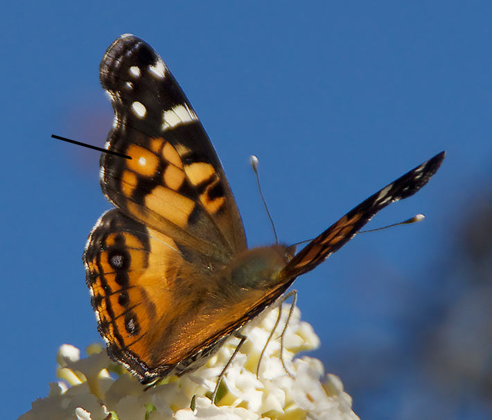 Upperwing pattern of an American Painted Lady