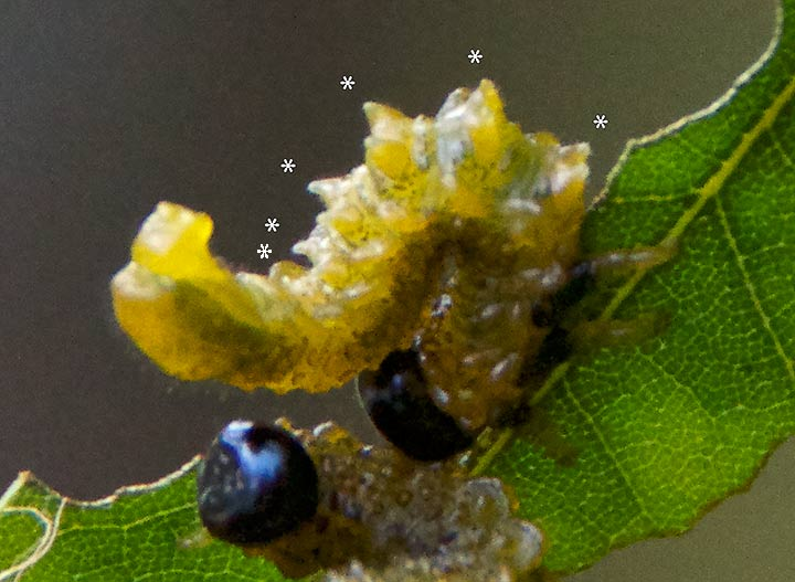 Willow Oak Sawfly showing six pairs of prolegs