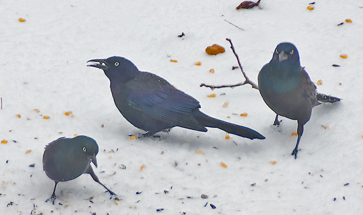 Three Grackles on the snow