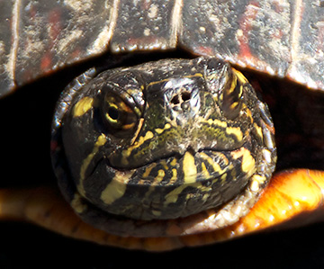 Head view of a Painted Turtle