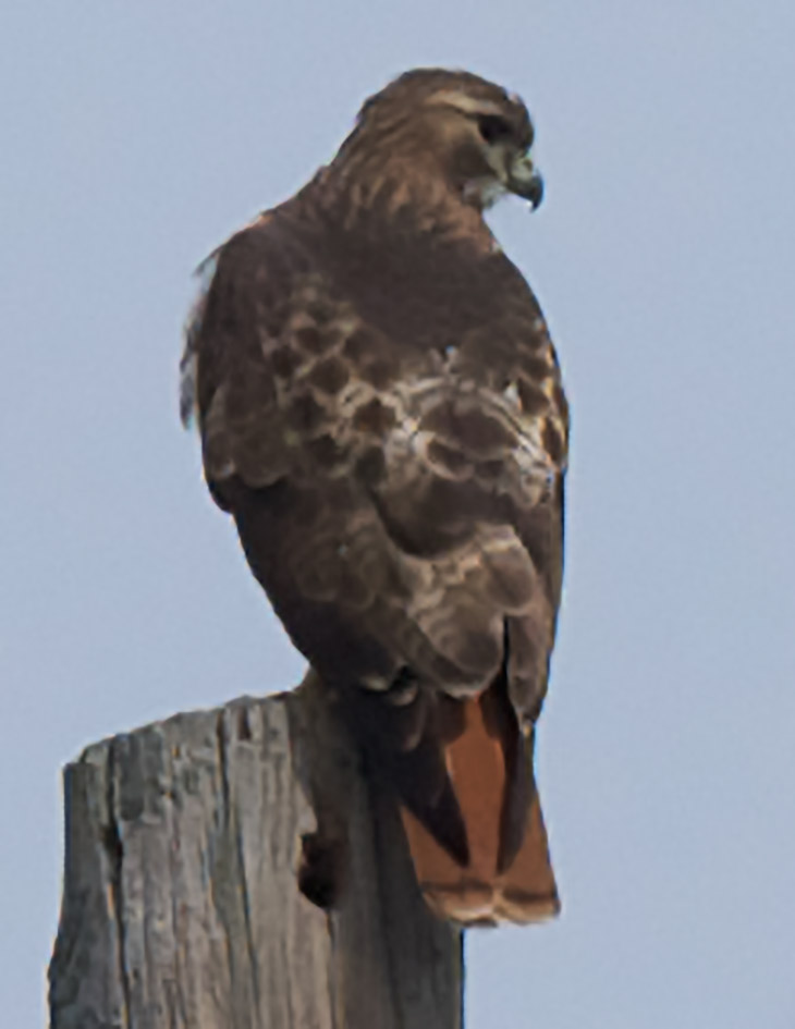Red-tail-2
