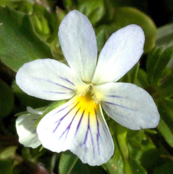 A Field Pansy flower