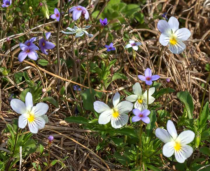 Field Pansies and Bluets