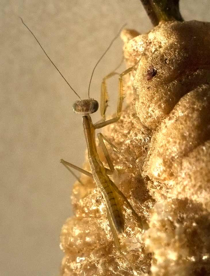 A baby mantis on an egg case