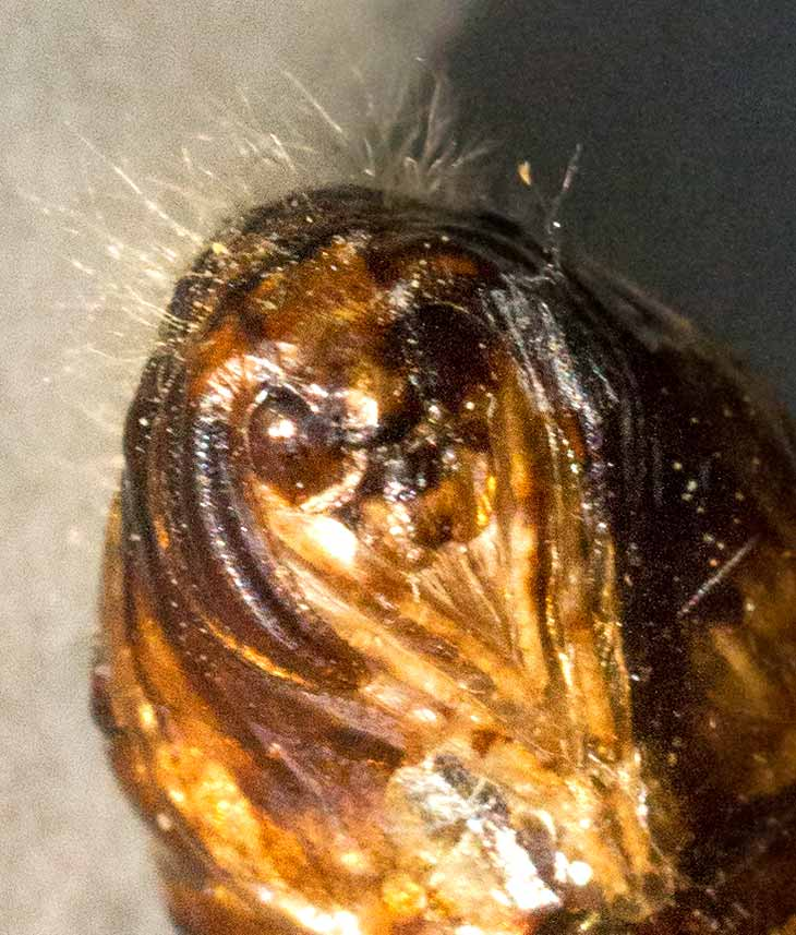 Head of a pupa