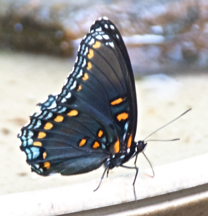 Red-spotted Purple underwing pattern