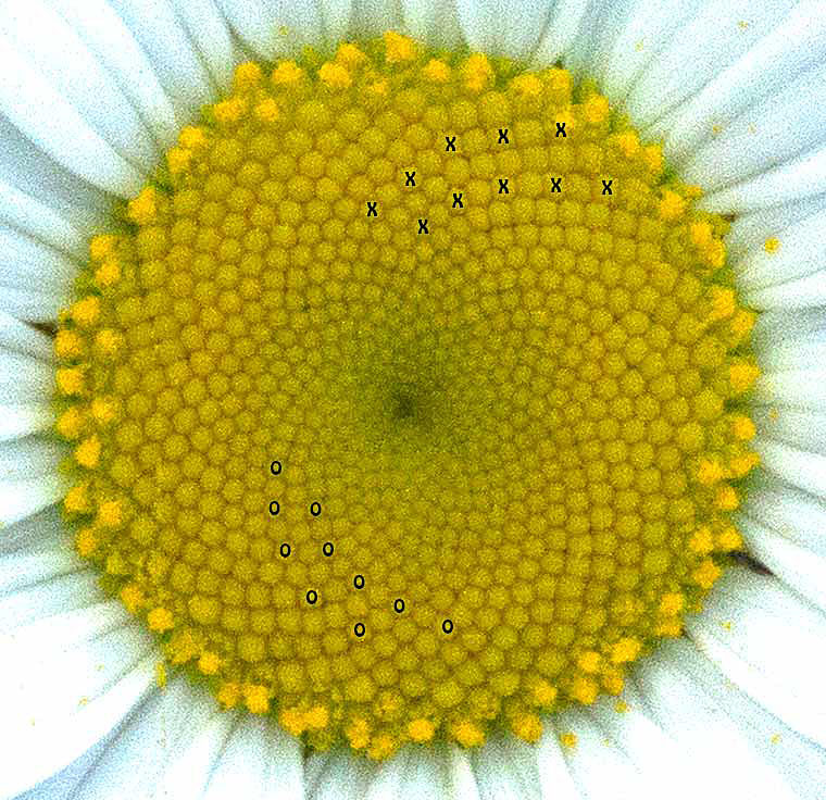 Disk Flowers of an Oxeye Daisy