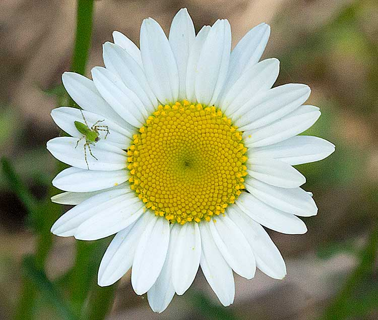 Oxeye Daisy with Crab Spider