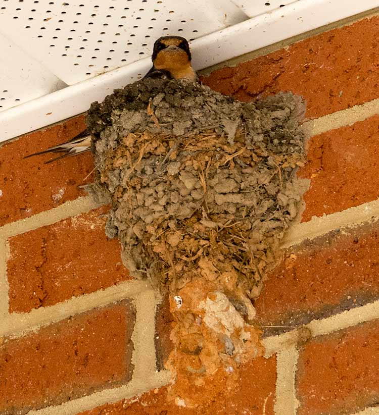 Barn Swallow and its nest. Note the long forked tail