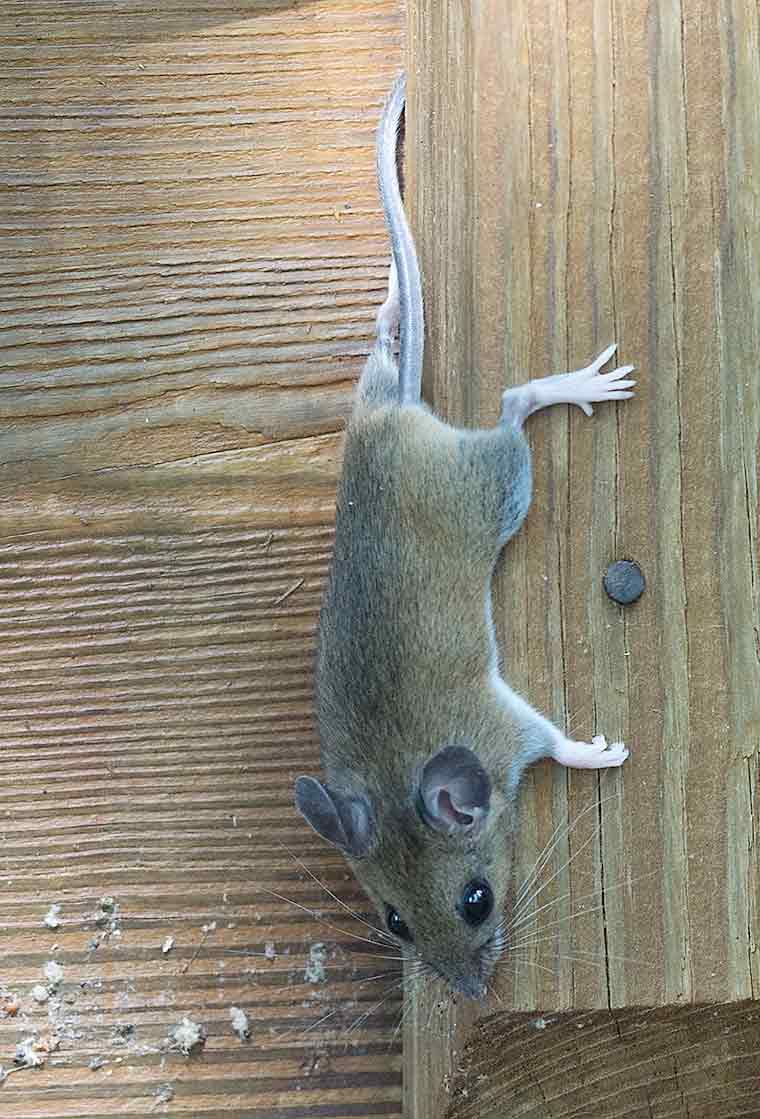 White-footed-mouse-1