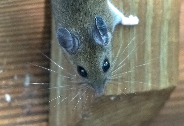 White-footed-mouse-2