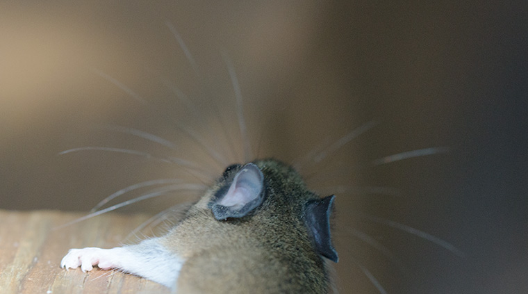 White-footed-mouse-3