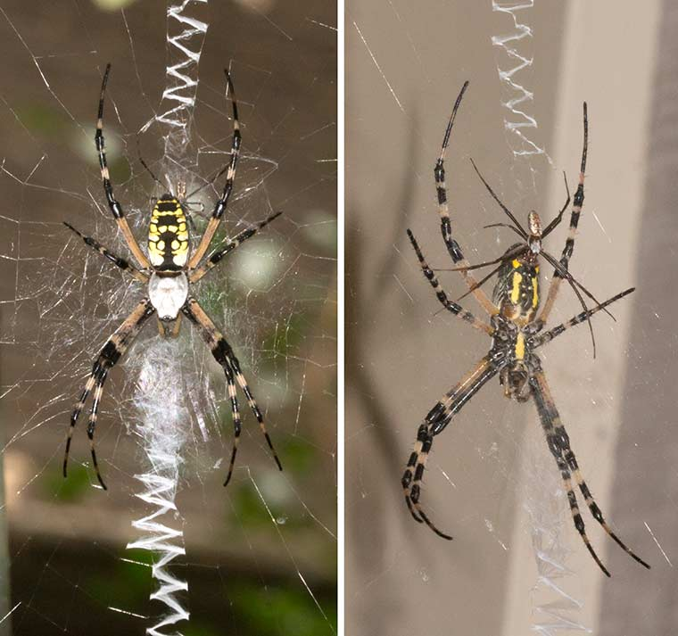 Dorsal and ventral views of a male and female Black and Yellow Garden Spider