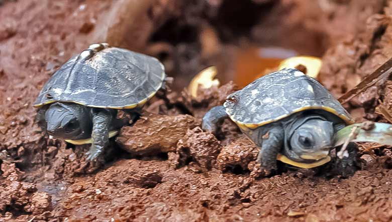 Baby Box Turtles emerging from their nest