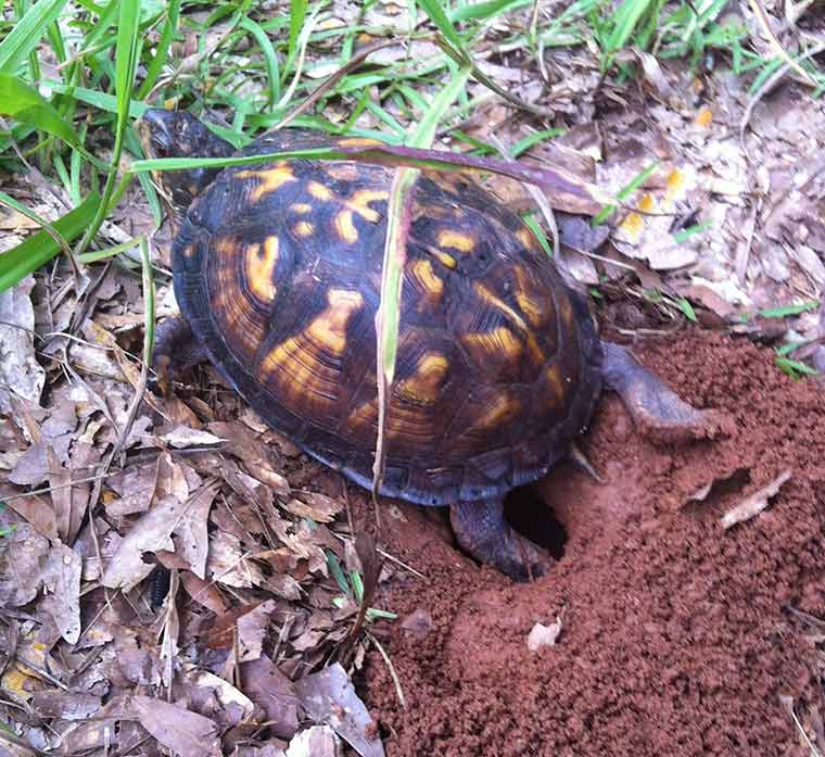 Box Turtle excavating a nest