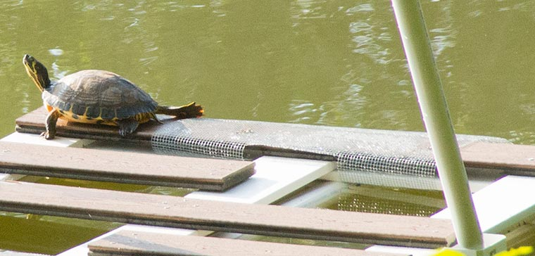 A Yellow-bellied Slider on a turtle basking platform