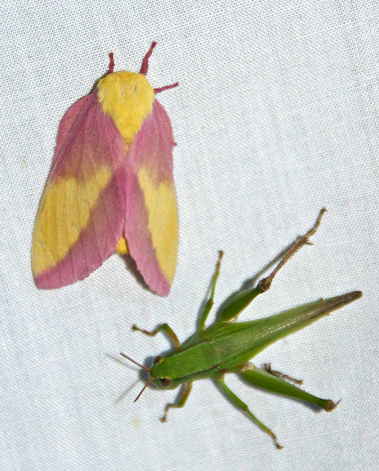 Rosy Maple Moth and Grasshopper