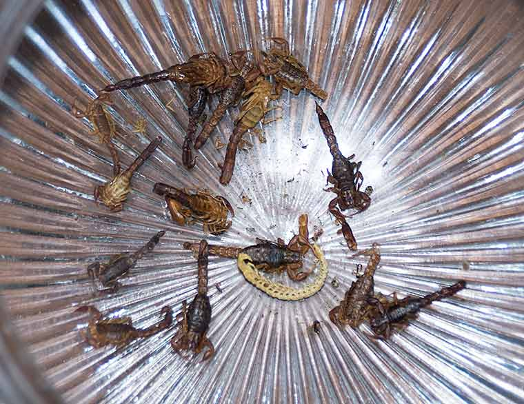 Dead scorpions in the globe from our hall ceiling light
