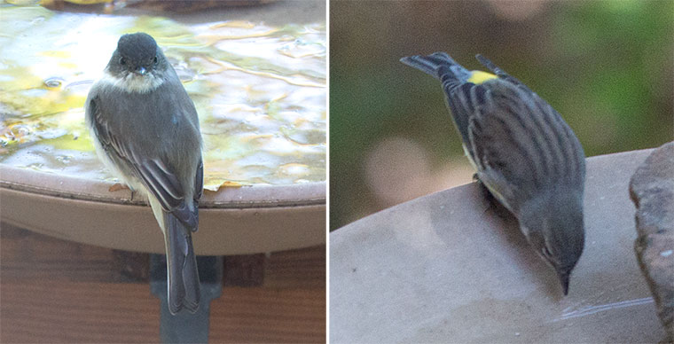 Phoebe and Yellow-rumped Warbler
