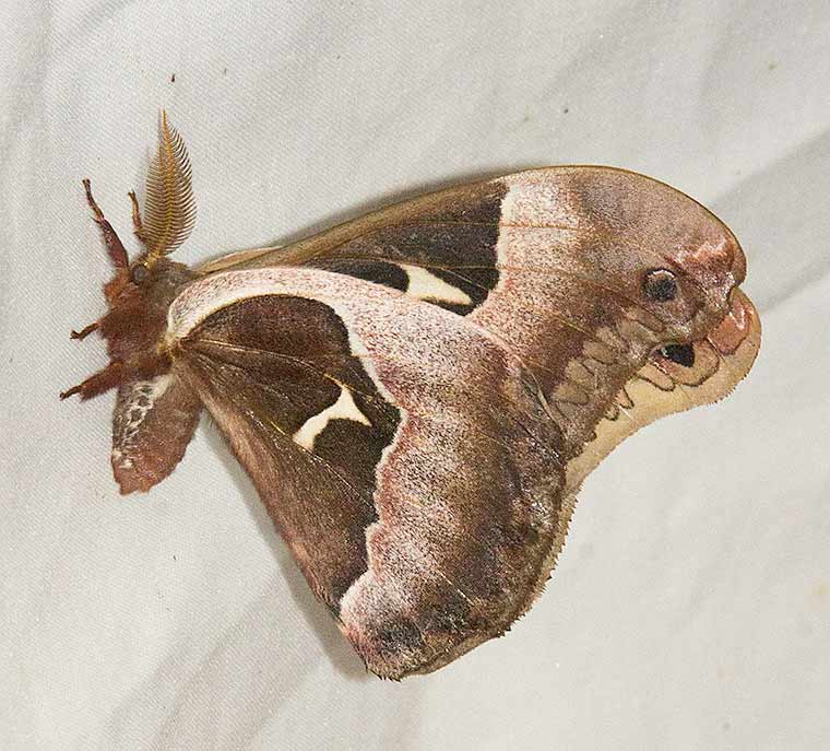 Underwing view of a Tuliptree Silkmoth