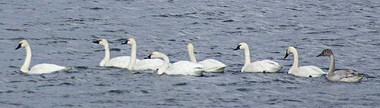 A group of eight Tundra Swans