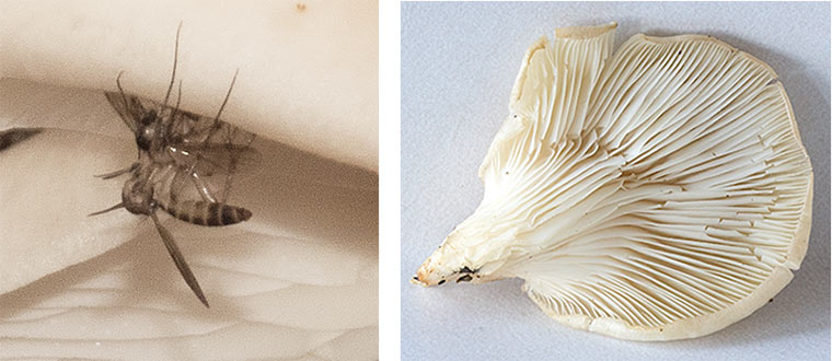 On the left: mating Crane Flies. On the right: the underside of one of the mushrooms showing the gills.