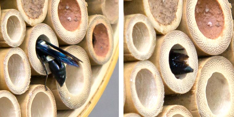 Black and White Potter Wasp entering a nesting tube