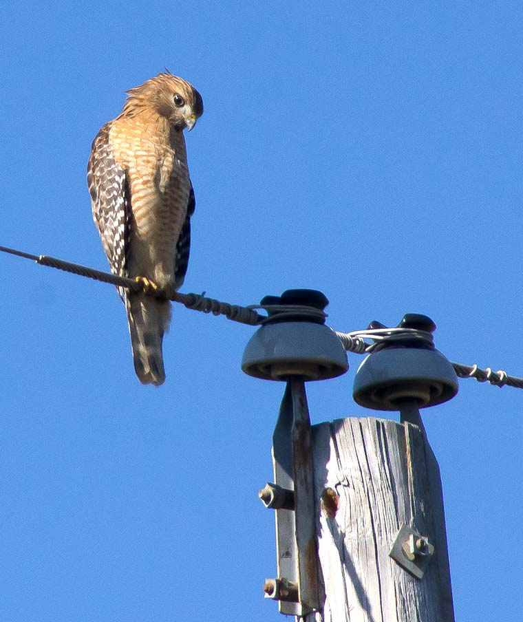 A Red-shouldered Hawk on a power line