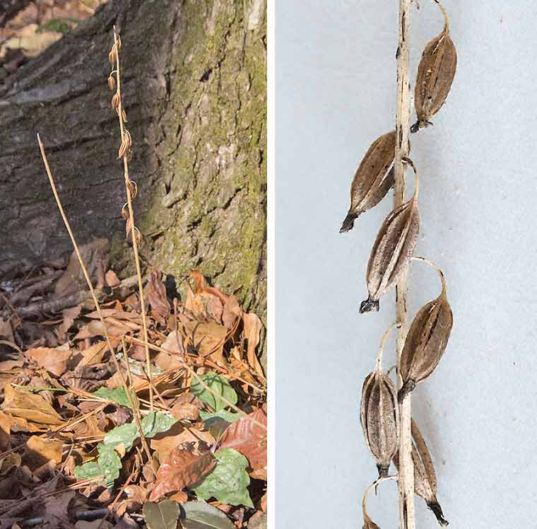 A group of Cranefly Orchid plants (left); Details of Cranefly Orchid fruits (right)
