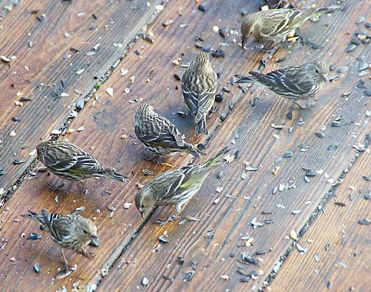 A group of Pine Siskins feeding on our deck