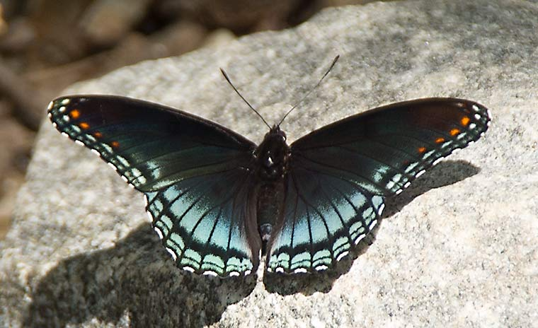 Red-spotted Purple butterfly on a rock