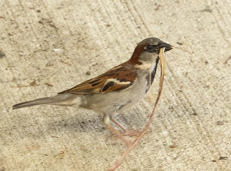 Male House Sparrow with string for nest building