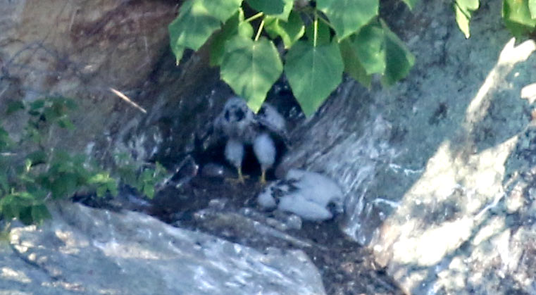 Peregrine chicks