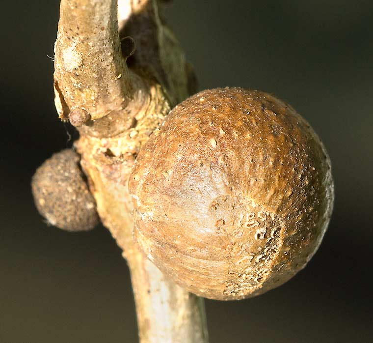 Gall on an oak