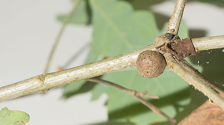 A gall growing on an oak node