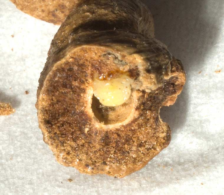 Larva inside an oak gall