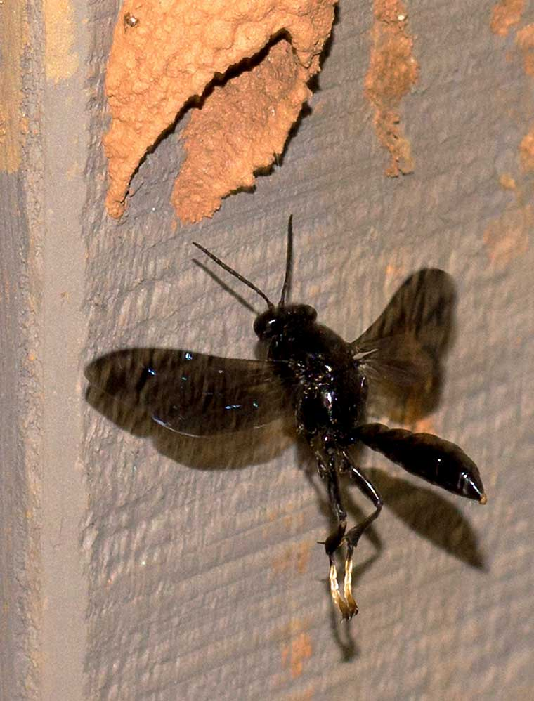 An Organ Pipe Mud Wasp arrives at its nest