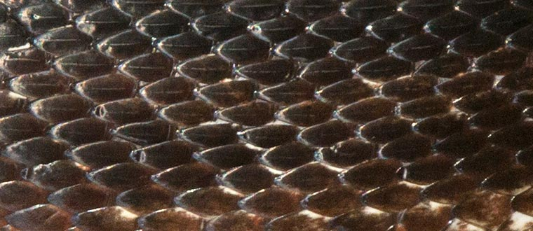 Scale pattern on the side of a Black Rat Snake
