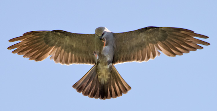 A Mississippi Kite eating a beetle