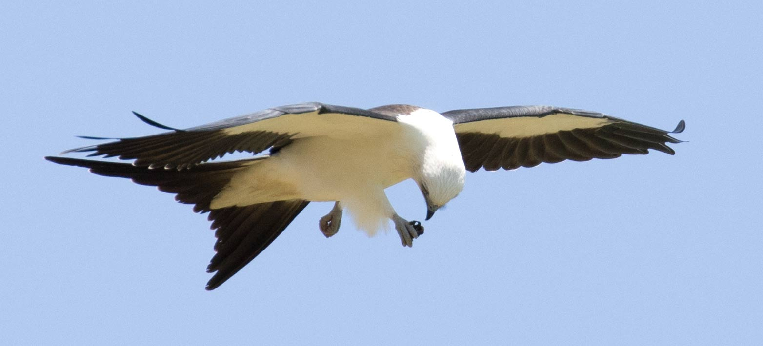 A Swallow-tailed Kite examines a beetle
