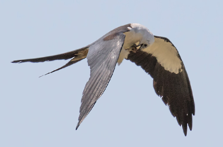 A Swallow-tailed Kite eating a beetle
